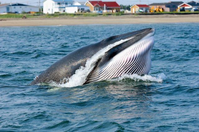 Voyage Observation des baleines sur le Saint-Laurent