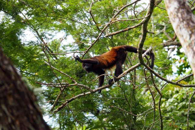 Petits baroudeurs sur la trace des singes hurleurs