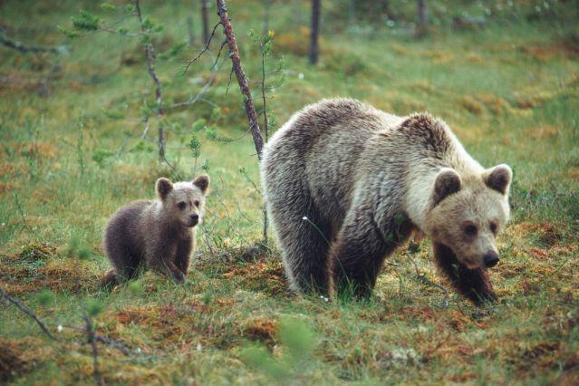 Voyage Observation des ours bruns à Paljakka