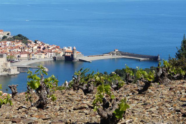 Vignes sur les hauteurs de Collioure - France