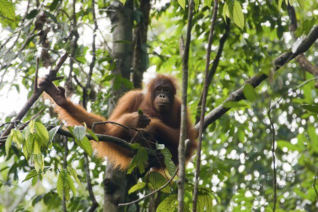 Voyage Bornéo, chez les orangs-outans