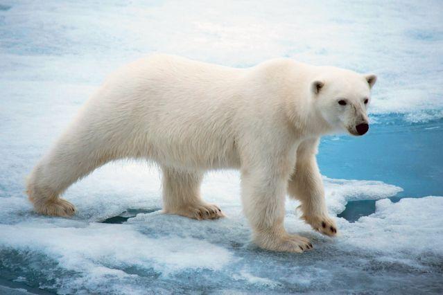 Ours polaire au Spitzberg - Norvège