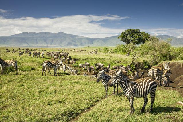 Zèbres et Gnous de Tanzanie
