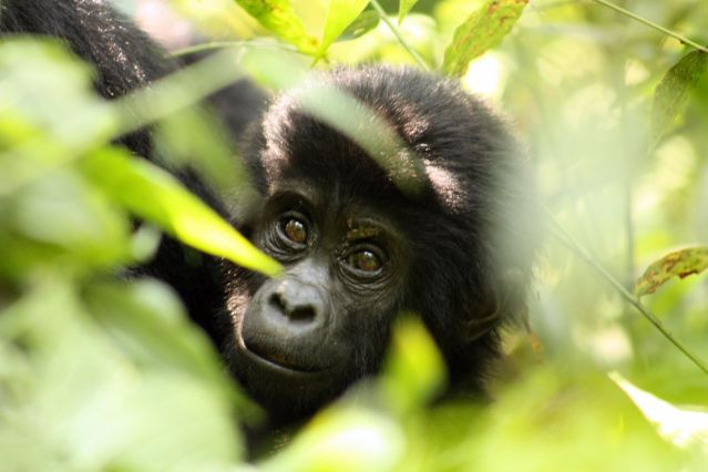 Voyage Ouganda - Rwanda, spécial primates