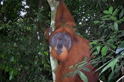 Orangs-outans, lacs et volcans de Sumatra